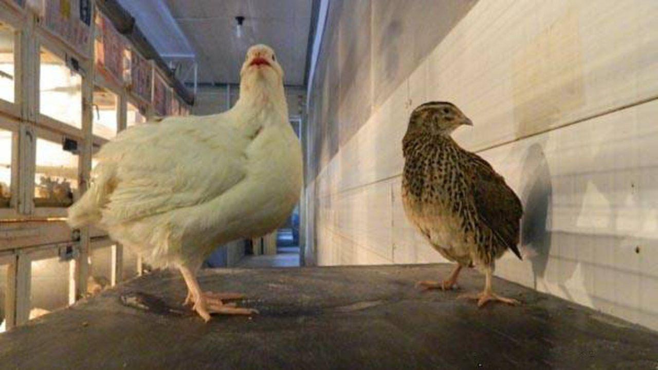 Несмотря на маленький размер тела, птица может похвастаться нежным, сочным и диетическим мясом