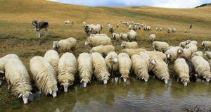 Рентабельность овцеводства