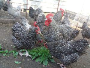 Курицы щиплют траву на выгуле