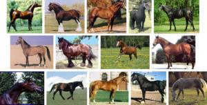 Сравнительный анализ внешнего вида лошадей различных пород