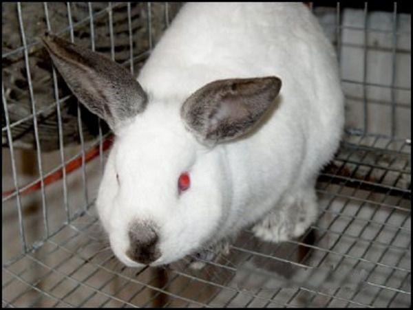 Калифорнийский кролик комфортно чувствует себя и на сетчатом дне