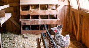 Птицам должно быть комфортно и безопасно в курятнике