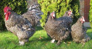 Петух и курицы Малин