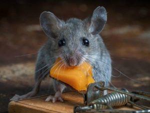 Меры профилактики против появления крыс