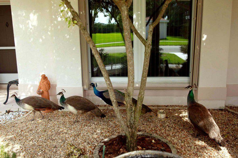 В некоторых городках Флориды павлины докучают местным жителям