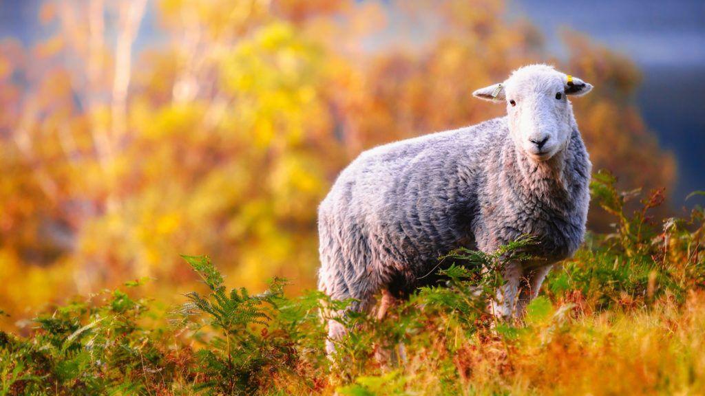 В рацион овец осенью вводят больше сена