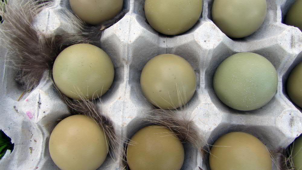 Инкубационное яйцо фазанов
