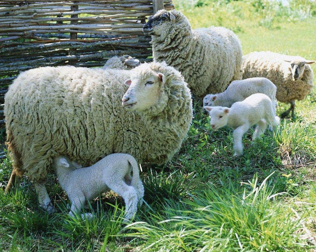 Кормящие овцы имеют свои особенности в рационе