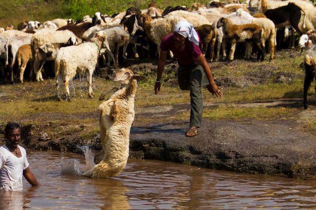 Купание овец в Индии