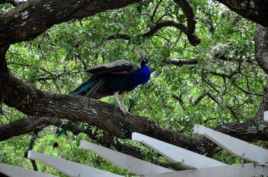 Павлины любят сидеть на нижних ветках деревьев