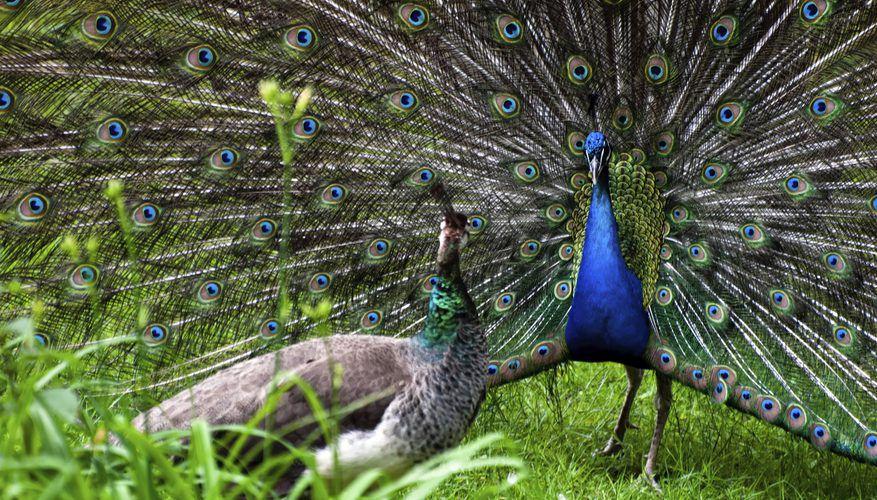 По одной из версий, самец павлина распускает хвост для привлечения самки