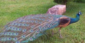 Пурпурный павлин