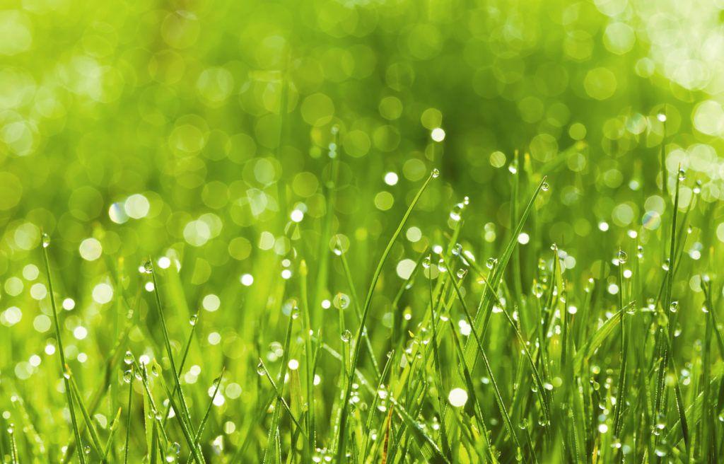 Растения, орошенные росой или дождевыми каплями, могут привести ко вздутию рубца овцы и ее скоропостижной смерти
