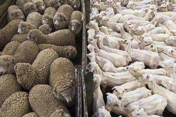 Большая мощность позволить постричь целое стадо