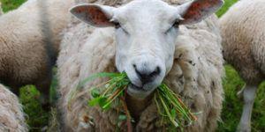 Сочные корма - основа рациона овец