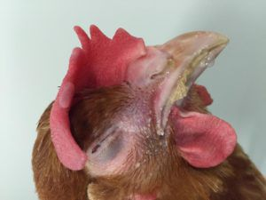Респираторный микоплазмоз у кур