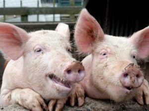 При болезни Ауески у свиней практически отсутствует зуд и расчесы, кожа остается чистой