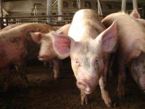 Ринит, искривление шеи и воспаление легких – явные симптомы ложного бешенства у свиней