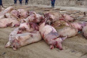 Непривитые животные погибают от болезни Ауески через несколько дней
