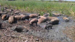 При свободном выпасе кармалы предпочитают держаться стадом