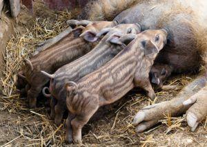 Поросята кармалов не требуют специальных кормовых добавок при выращивании