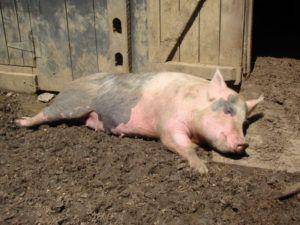 Инфлуэнцеподобная форма болезни Ауески проявляется в виде резкого повышения температуры и слабости у свиней