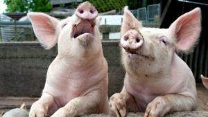 Частые эпилептические припадки – отличительная особенность болезни Ауески у свиней