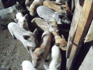 Свиноматка может принести до 20 голов приплода за один опорос