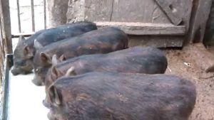 Кармалы не подвержены заболеваемости основными инфекциями свиней