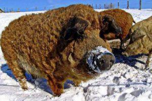 Густая шерсть и отменное здоровье позволяют кармалам обходиться без теплого свинарника