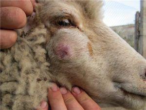 У овец и коз, зараженных псевдобешенством, отмечается сильный зуд и отеки лицевой части головы