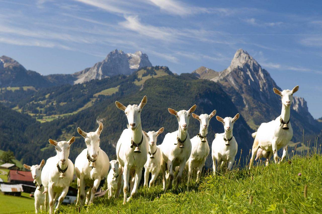 Альпы стали родным домом для белоснежных козочек