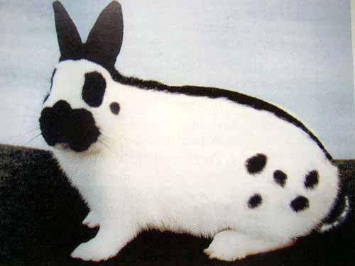 Особый окрас подарил кролику его название
