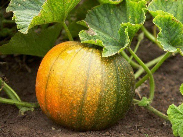 Бахчевые служат незаменимым источником сырой клетчатки и витаминов, которых нет в других кормах