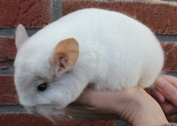 Взрослая бело-розовая самка