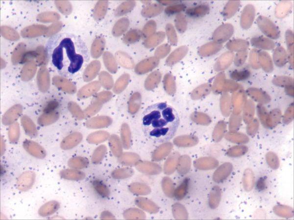Бациллы микоплазмоза