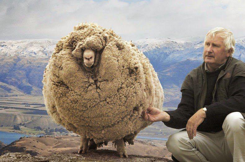 По показателям живого веса пушистые овцы уступают породам мясного направления
