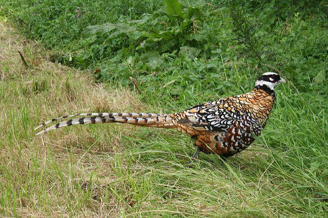 Летом фазаны большую часть пищи добывают самостоятельно