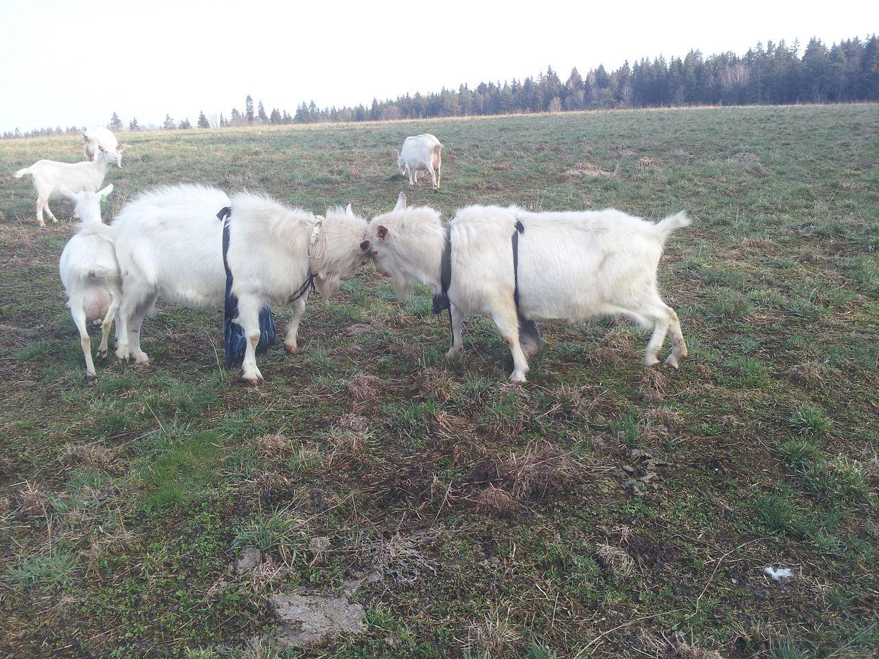 С приходом весны коз переключают на пастбищный тип содержания