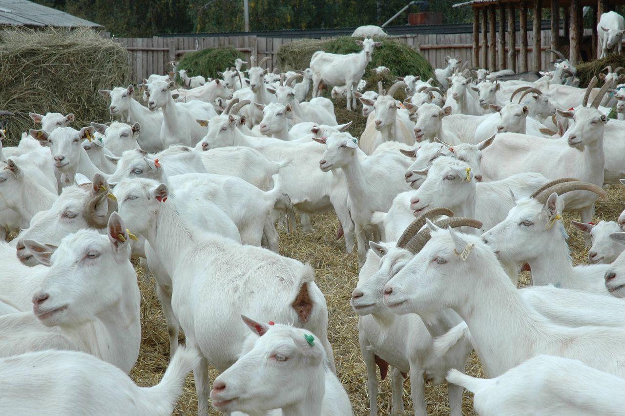 При формировании стада следует помнить, что количество не всегда переходит в качество