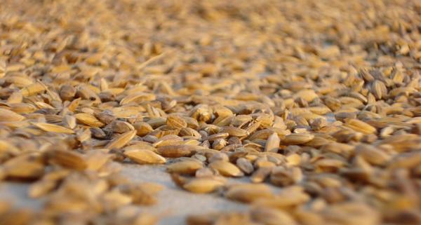 Некачественное зерно - один из факторов заражения ботулизмом