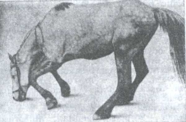 Проявление столбняка у лошади
