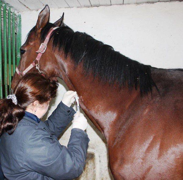 Лечение столбняка у лошадей успешно практикуется