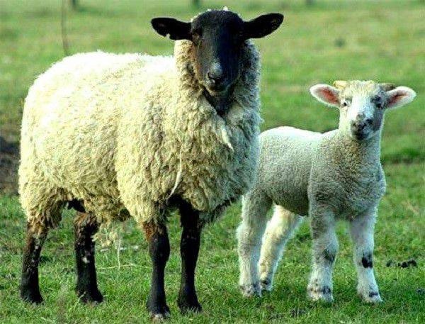 Кормовую конверсию для овец можно понизить с помощью увеличения времени выпаса