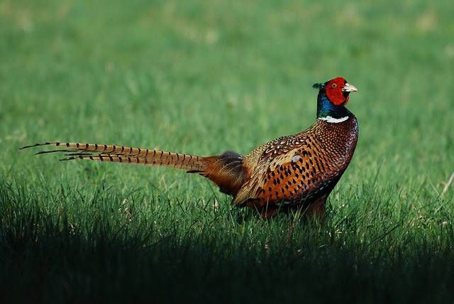 Особенность фазана - яркое оперение и длинный хвост