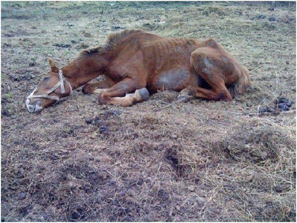 Лошадь, больная сибирской язвой