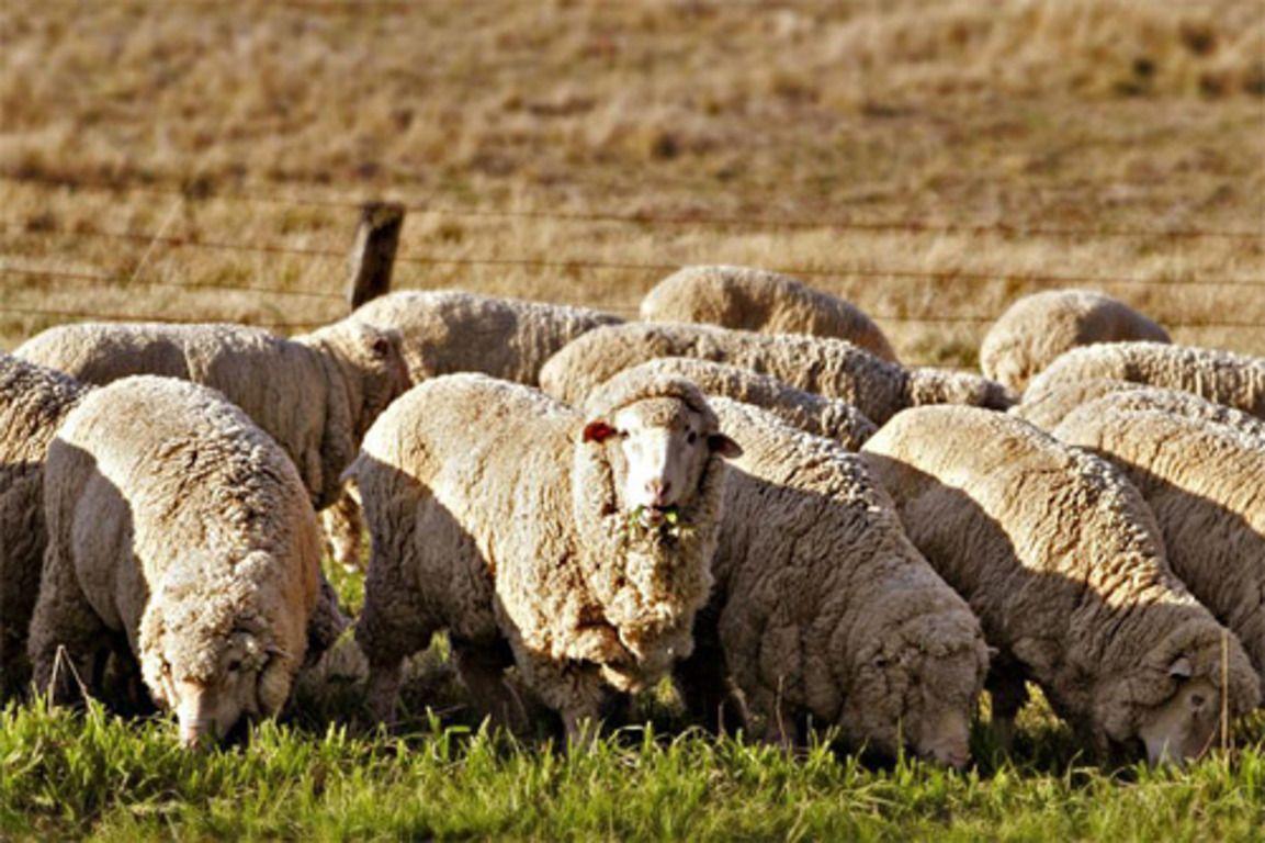 Несмотря на то, что эти пушистые питомцы не считаются самой востребованной породой на территории РФ, множество фермерских хозяйств нацелено на сбор и обработку их шерсти