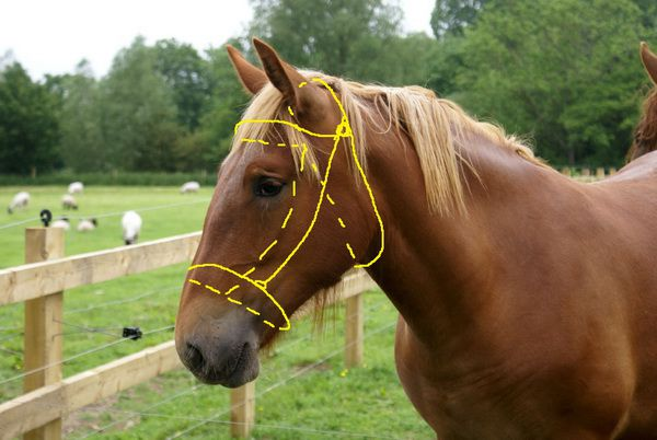 Снимаем мерки с головы лошади
