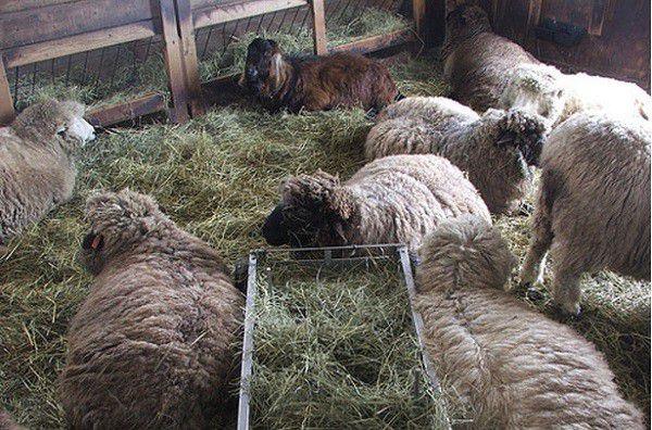 В стойловый период кормления овцы потребляют большое количество сена