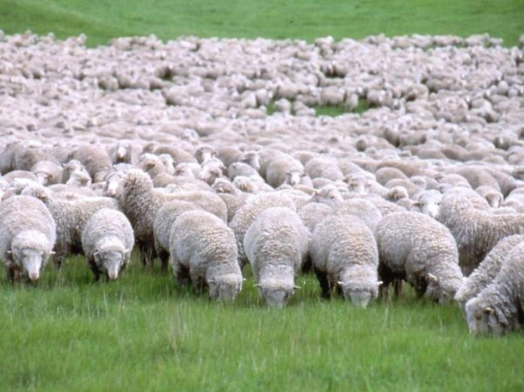 Летом овцы не должны пастись под палящим солнцем